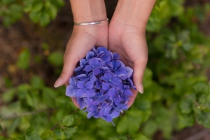 Stock Photo: Hands Holding Hydrangea Flower